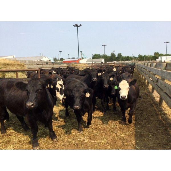 Murray Throndson - 901# Steers - 189 Head (Pen 22)
