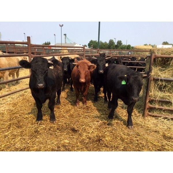 Murray Throndson - 839# Steers - 8 Head (Pen 20)