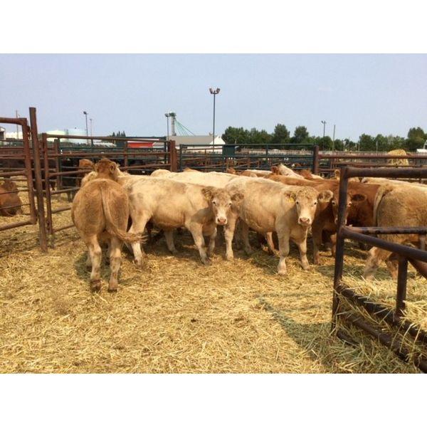 Murray Throndson - 947# Steers - 26 Head (Pen 19)