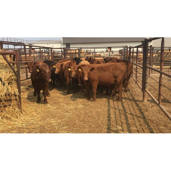 Byron & Michelle Clarke - 795# Steers - 20 Head (Pen 46)
