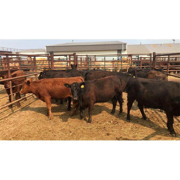 Byron & Michelle Clarke - 735# Heifers - 11 Head (Pen 44)