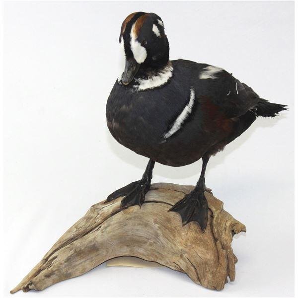 Harlequin Duck Mount