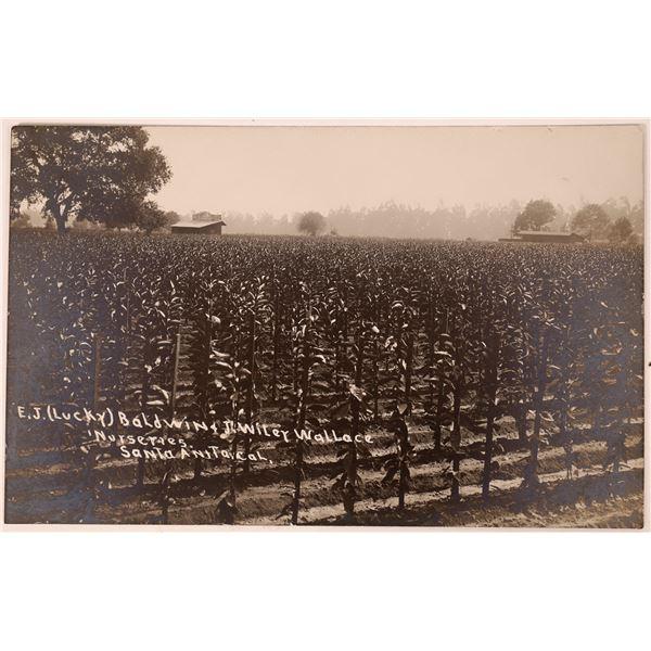 Real Photo Postcard of Lucky Baldwin's Ranch  [135207]
