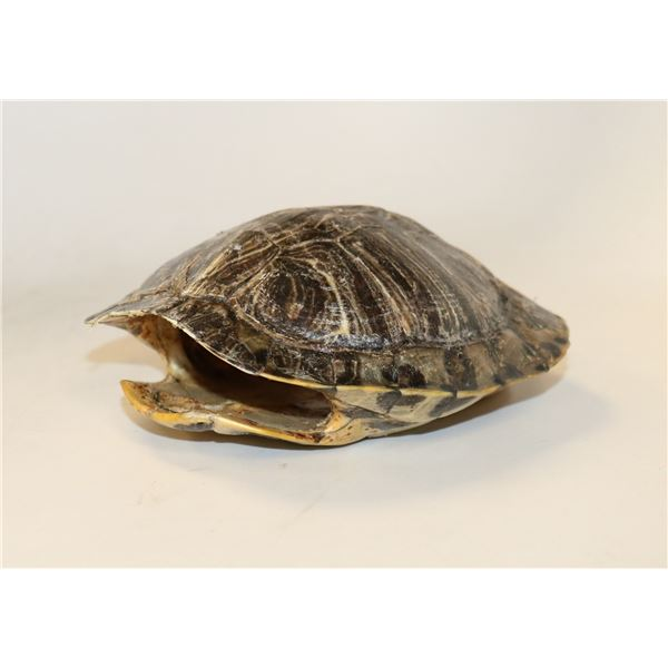 TURTLE SHELL FOR DECOR