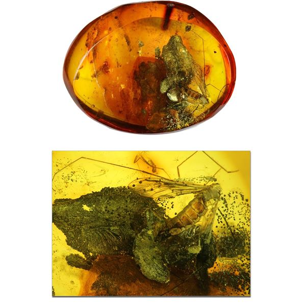 Baltic amber with preserved cranefly, approx. 44 million years old, from Kaliningrad, Russia.