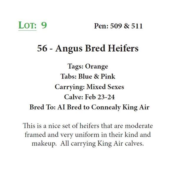 56 - Angus Bred Heifers