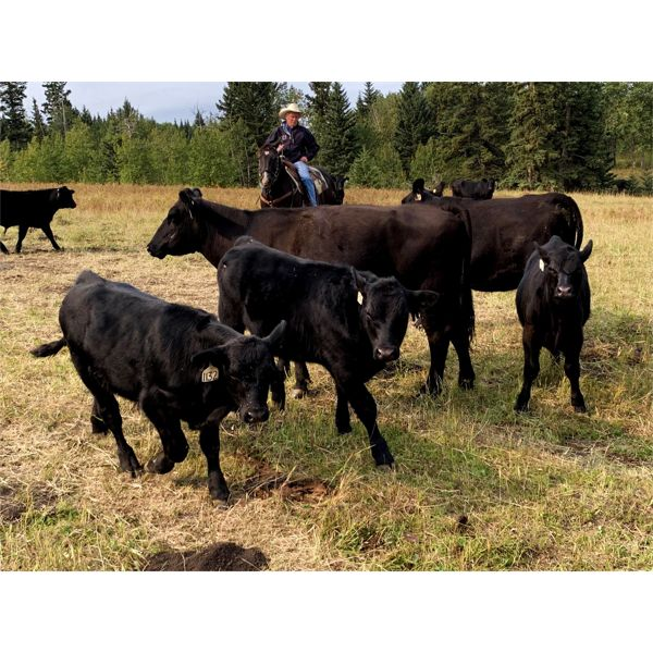 White Moose Ranches - 450# Steer Calves - 250 Head (Turner Valley, AB)