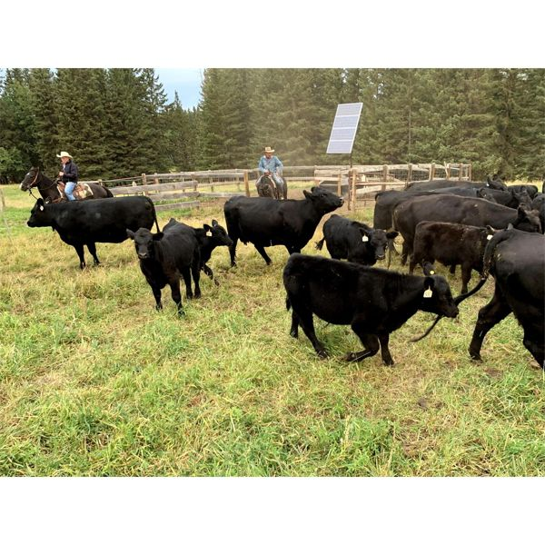 White Moose Ranches - 350# Steer Calves - 60 Head (Turner Valley, AB)