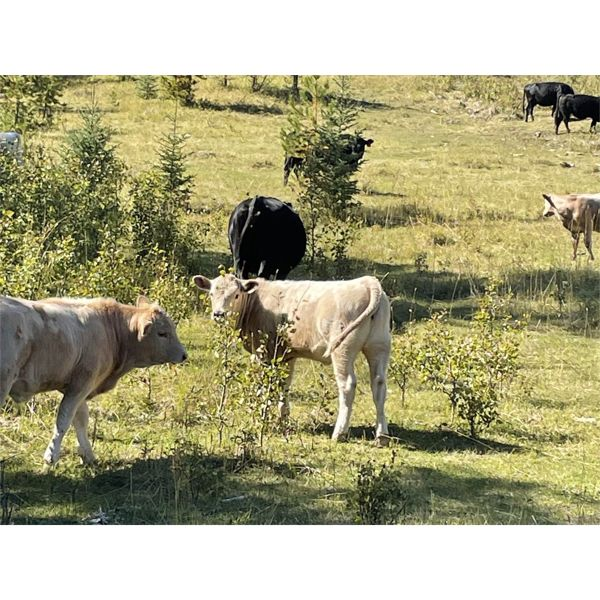 Cody & Brittany Black - 560# Heifer Calves - 70 Head (Huxley, AB)