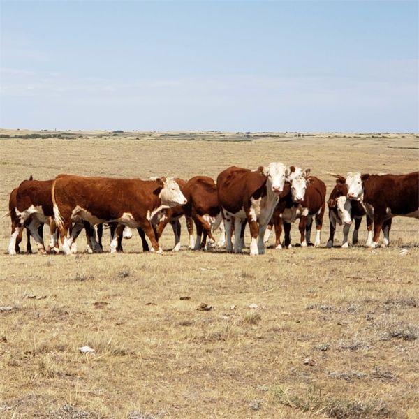Bowie Ranch Ltd. - 920# Steers - 115 Head (Piapot, SK)