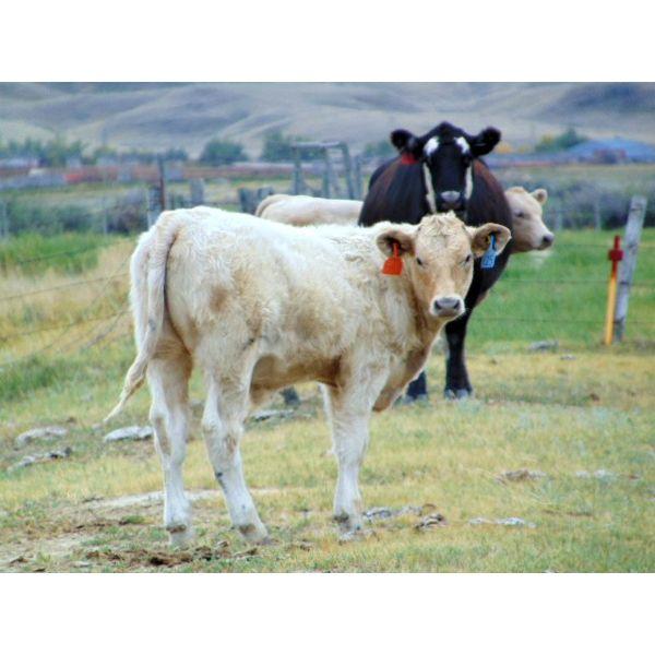 JG Larson Livestock (V-V) - 600# Steer Calves - 90 Head (Jenner, AB)