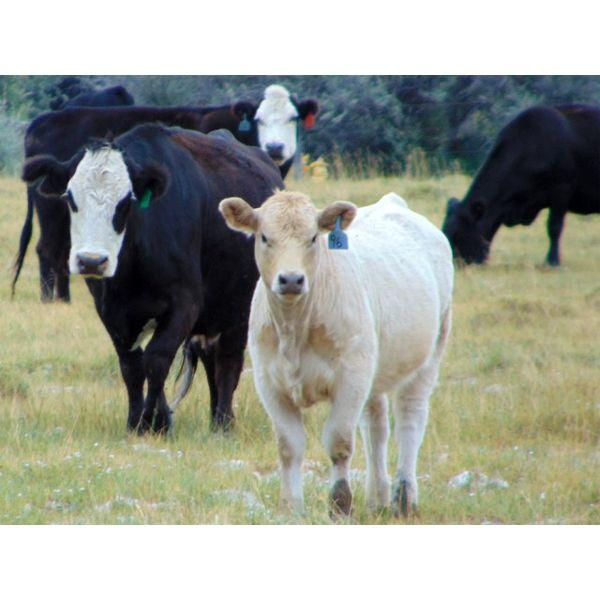 JG Larson Livestock (V-V) - 520# Steer Calves - 190 Head (Jenner, AB)