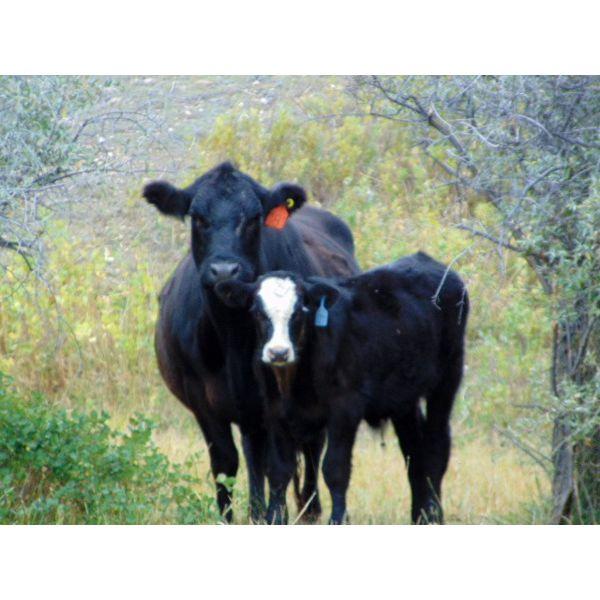 JG Larson Livestock (V-V) - 550# Steer Calves - 60 Head (Jenner, AB)