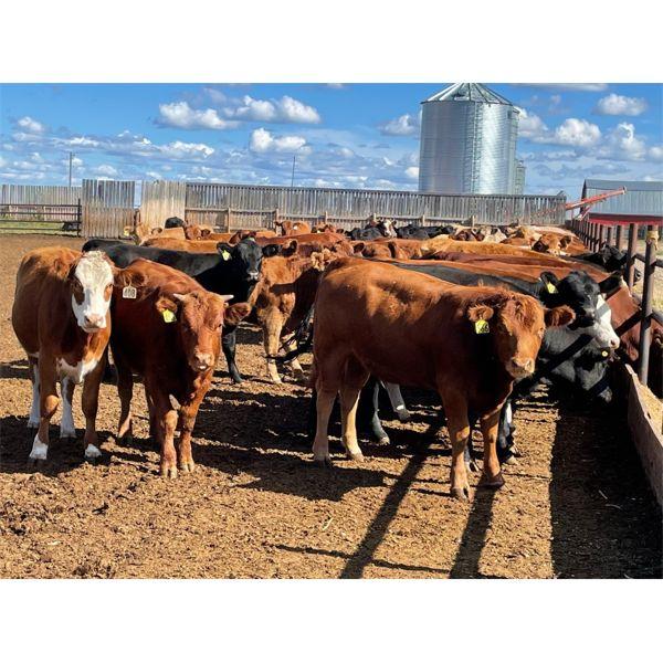 Hines Ranching Co. Ltd. - 750# Heifers - 280 Head (Marwayne, AB)