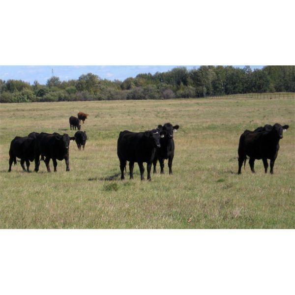 Garnier Land & Cattle - 940# Heifers - 60 Head (Marwayne, AB)
