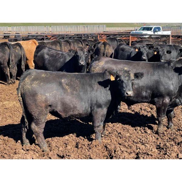 Tim Pelleboer - 1050# Steers - 170 Head (Monarch, AB)