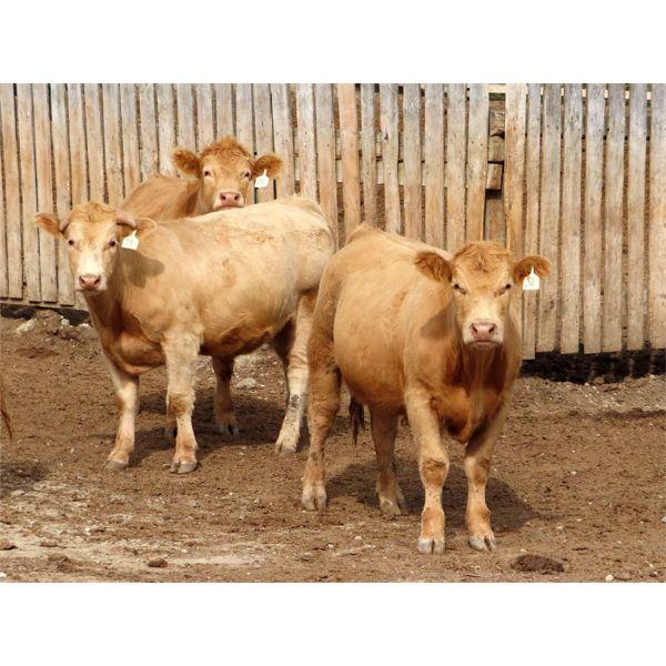 Westwood Land & Cattle - 1000# Steers - 60 Head (Moosomin, SK)