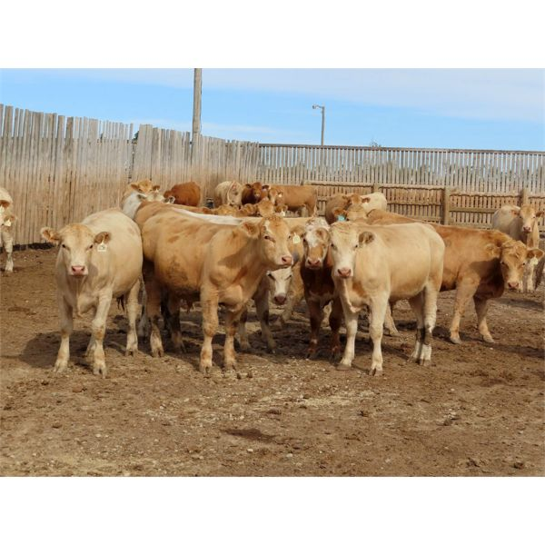 Westwood Land & Cattle -925# Steers - 33 Head (Moosomin, SK)