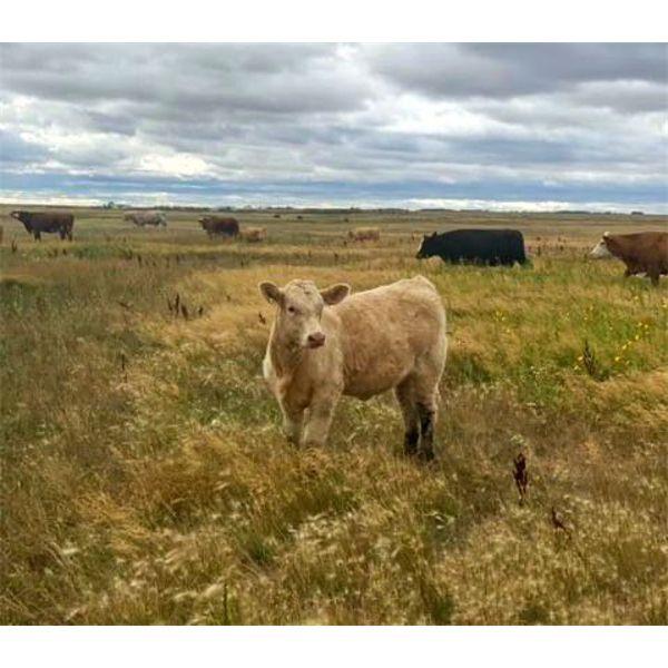 *VBP+* F Nester Ranching (Les Nester) - 570# Steer Calves - 110 Head