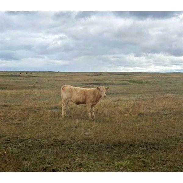 *VBP+* F Nester Ranching (Les Nester) - 500# Steer Calves - 95 Head