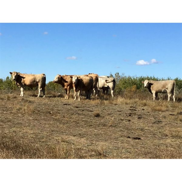Westview Cattle Co. - 1000# Heifers - 180 Head (Consort, AB)