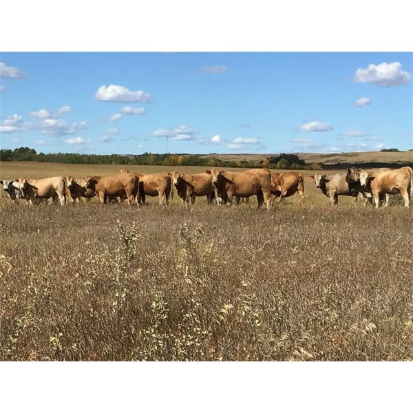 Westview Cattle Co. - 950# Heifers - 116 Head (Consort, AB)