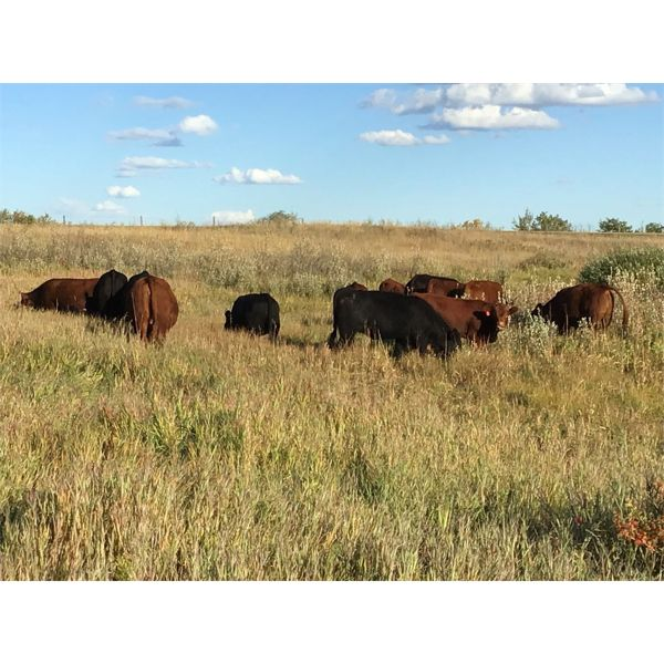 Westview Cattle Co. - 875# Heifers - 71 Head (Consort, AB)