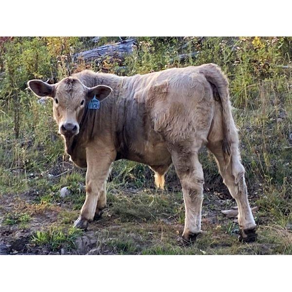Einar & Judy & Logan Nelson - 630# Steer Calves - 100 Head (Lundbreck, AB)