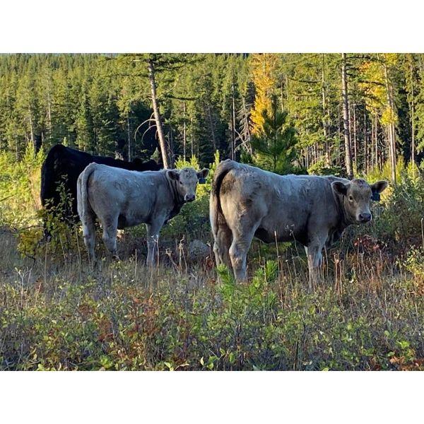 Einar & Judy & Logan Nelson - 600# Heifer Calves - 100 Head (Lundbreck, AB)