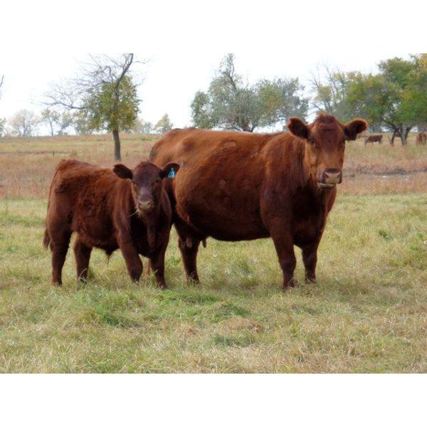 Henrickson Ranching - 620# Steer Calves - 80 Head (Patricia, AB)