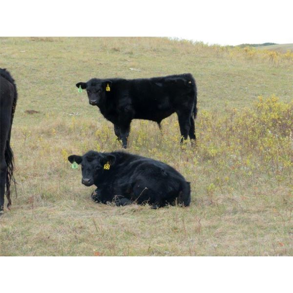 Vredegoor Ranch - 480# Steer Calves - 220 Head (Handhills, AB)