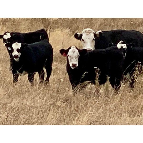 Jodi Flaig - 600# Steer Calves - 70 Head (Two Hills, AB)
