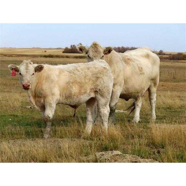Cole Herold - 600# Steer Calves - 65 Head (Montmartre, SK)