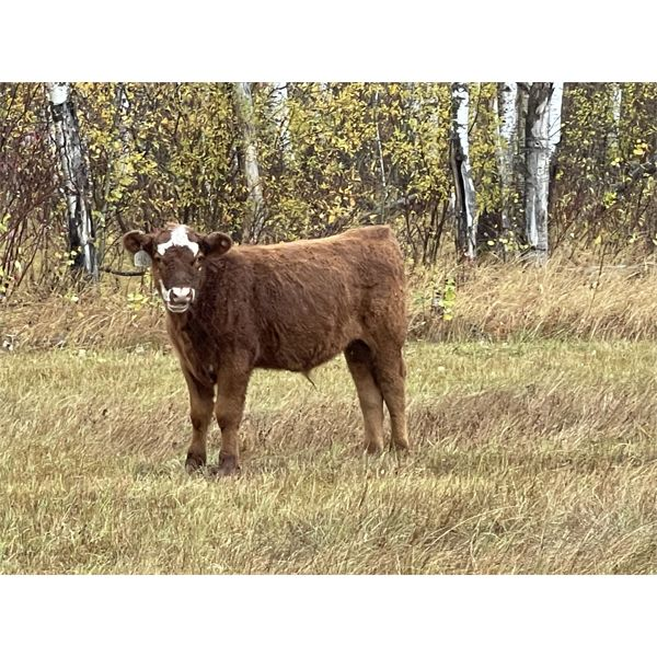 Peter Sorenson - 425# Steer Calves - 100 Head (Eddystone, MB)