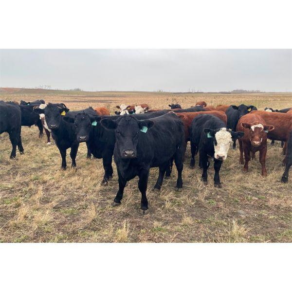 Mannle Farms - 850# Heifers - 150 Head (Whitewood, SK)