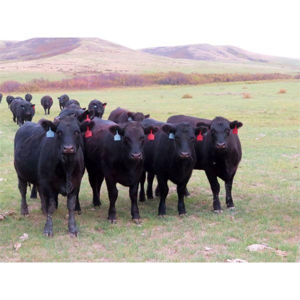 Heartland Ranch - 1050# Bred Heifers - 12 Head (Wood Mountain, SK)