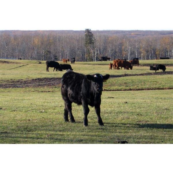 Moore's Ranching - 580# Steer Calves - 280 Head (Loon Lake, SK)