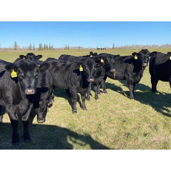 AspenTerra Inc. - 885# Heifers - 60 Head (Lundar, MB)