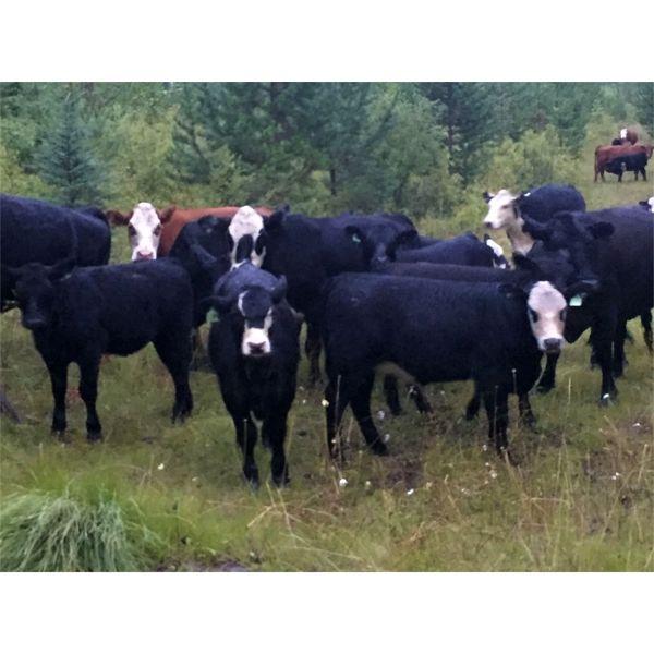 Blue Goose Cattle Co. - 490# Heifer Calves - 240 Head (Williams Lake, BC)