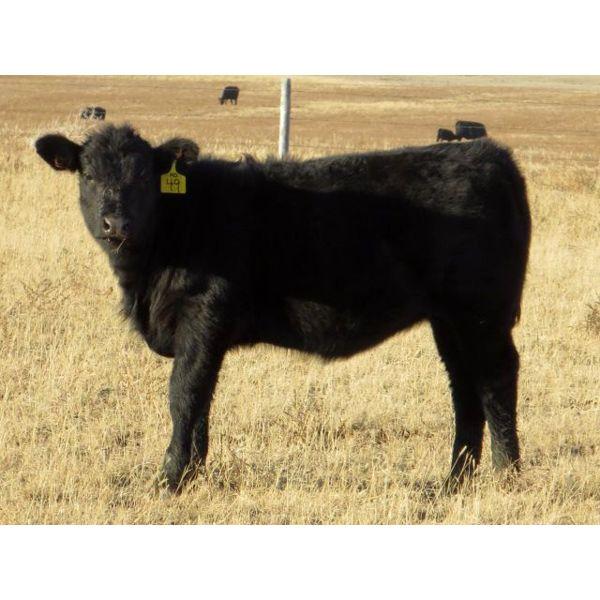 Deis Ranch - 450# Heifer Calves - 110 Head (Fox Valley, SK)