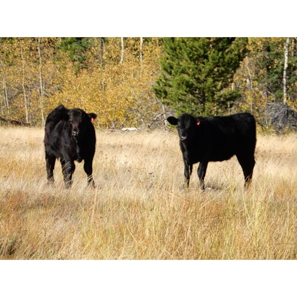 Indian Gardens Ranch - 480# Heifer Calves - 115 Head (Savona, BC)