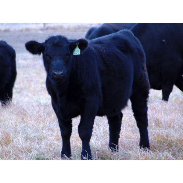 Ray Torkelson - 520# Heifer Calves - 115 Head (Millicent, AB)