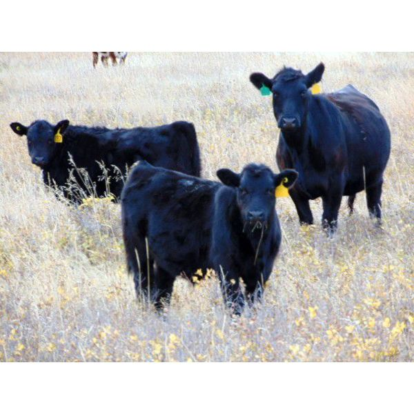 Dale & Lacey Pfahl - 540# Steer Calves - 75 Head (Rolling Hills, AB)