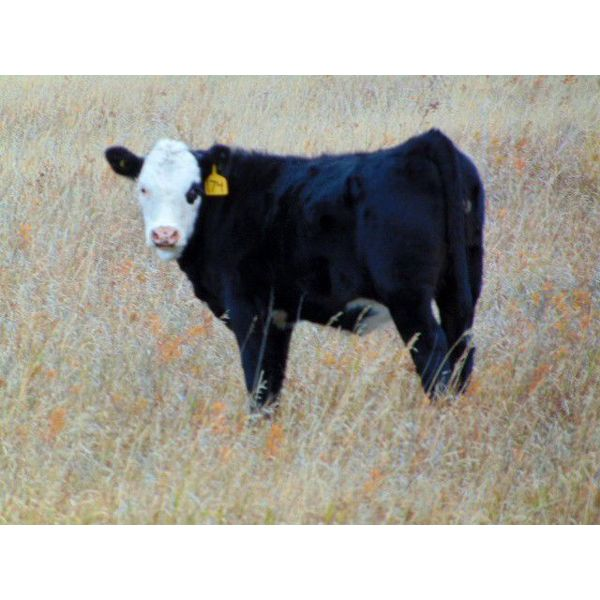 Dale & Lacey Pfahl - 490# Heifer Calves - 75 Head (Rolling Hills, AB)
