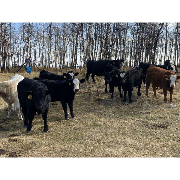 Jason & Emil Kure - 575# Heifer Calves - 85 Head (Bowden, AB)