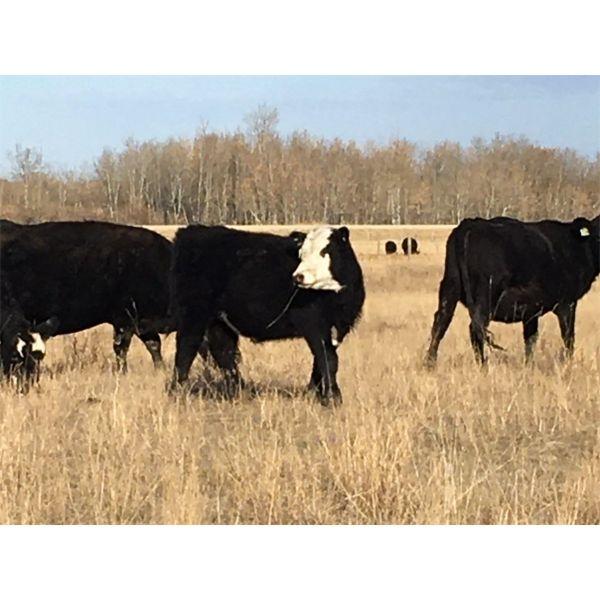 Devon & Gail Boulding - 460# Steer Calves - 45 Head (Big Valley, AB)