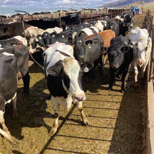 Idaho Dairies/Ranches - 155 Cows - Burley, ID