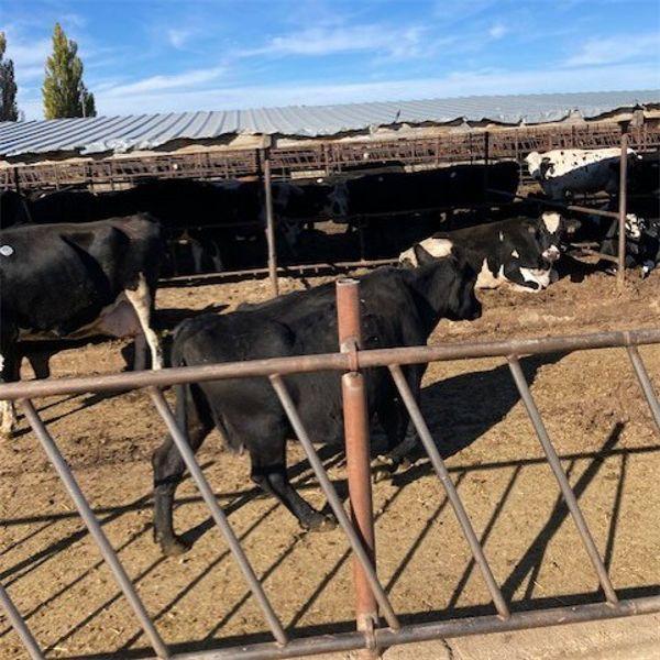 Idaho Dairies/Ranches - 79 Cows - Burley, ID