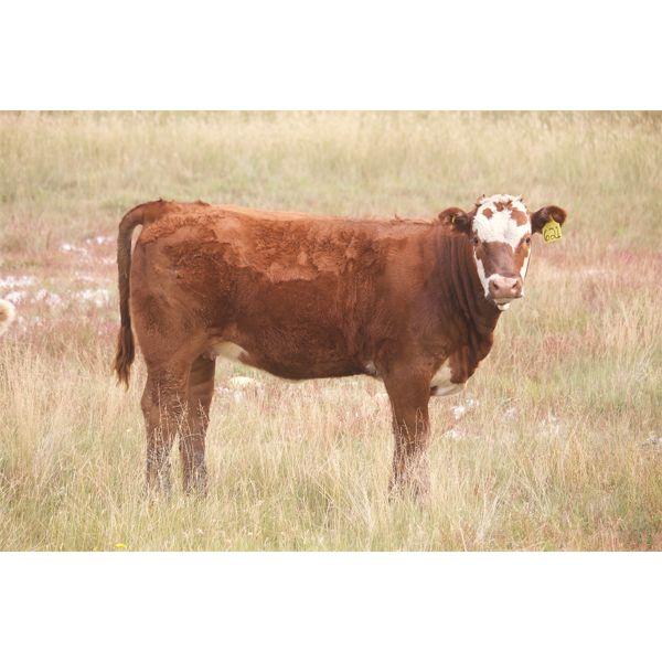 Alvin Sandum - 650# Heifer Calves - 97 Head (Hussar, AB)