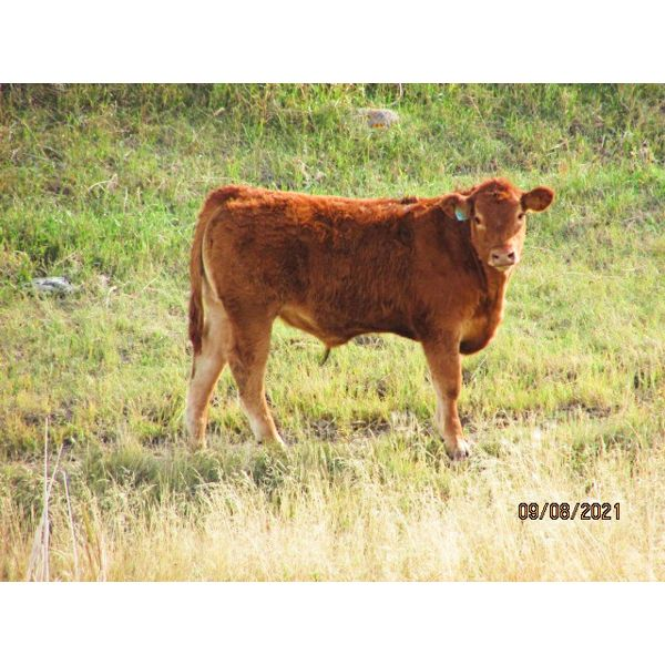 Indian Springs Land & Cattle - 630# Steer Calves - 100 Head (Hussar, AB)